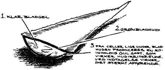 aloe-vera-tverrsnitt
